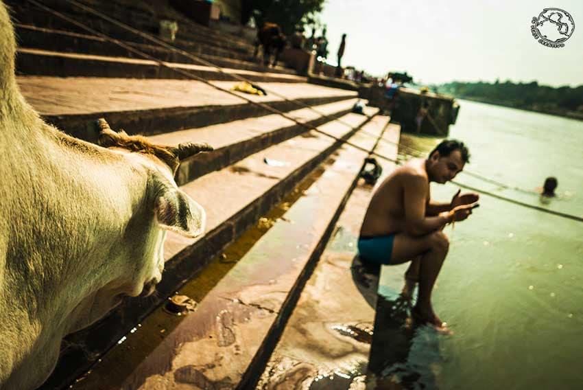 Ganges Vaca