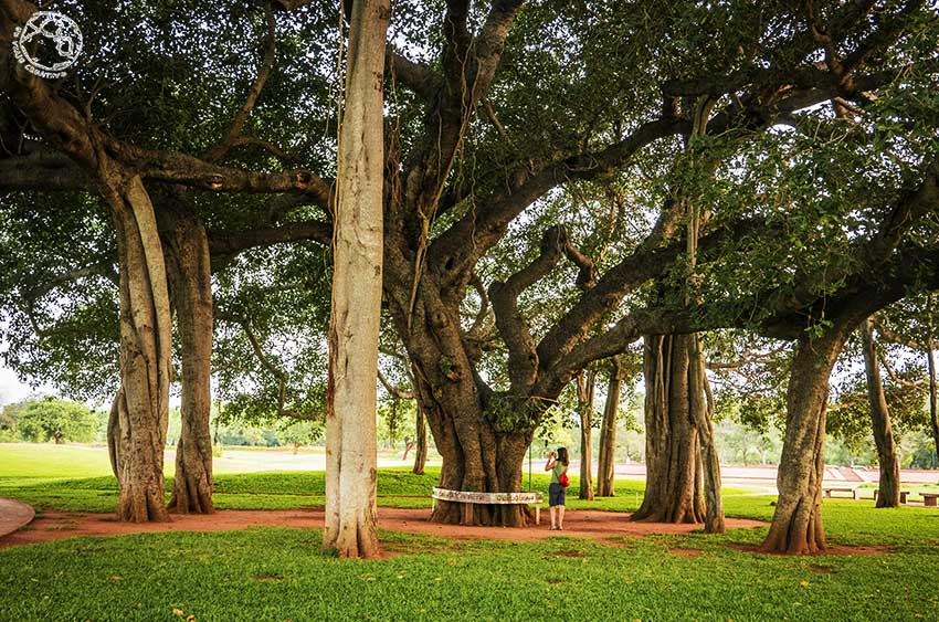 Árbol banji. De sus ramas nacen nuevos troncos