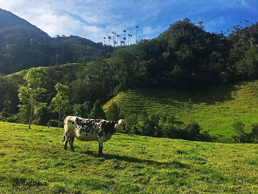 vaca-valle-cocora
