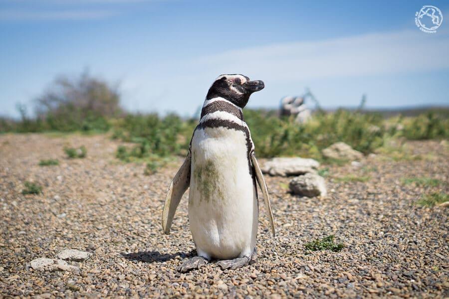 Pingüinos en Península Valdés