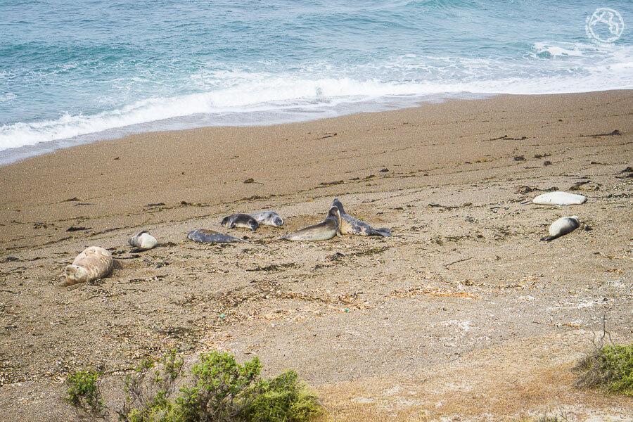 elefantes marinos en Península Valdés